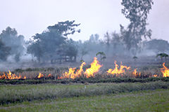 Burning the grass after harvest. Stock Photos