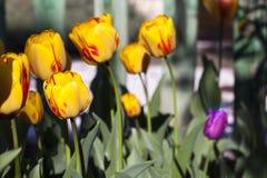 Burning Heart Tulips in the Garden Stock Photo