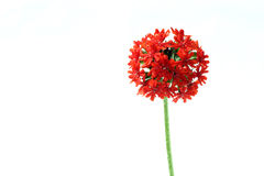 Burning love. A burning red flower against a white background Stock Photography