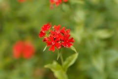 Burning love flower, Lychnis chalcedonica. Stock Image