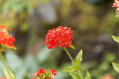 Burning love flower, Lychnis chalcedonica. Royalty Free Stock Photos