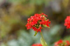 Burning love flower, Lychnis chalcedonica. Macro photo of a burning love flower, Lychnis chalcedonica Royalty Free Stock Photos