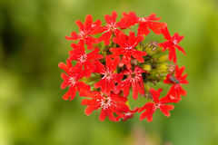 Burning love flower, Lychnis chalcedonica. Macro photo of a burning love flower, Lychnis chalcedonica Royalty Free Stock Images