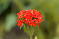 Burning love flower, Lychnis chalcedonica. Macro photo of a burning love flower, Lychnis chalcedonica Royalty Free Stock Photo