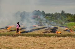 Rice field burning in Cambodia. The annual burning procedure of rice paddies for the next crop season. Cambodia Royalty Free Stock Photography