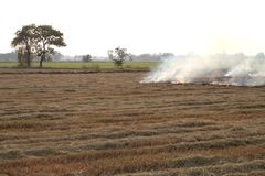 Burning rice straw in the afternoon. Royalty Free Stock Image