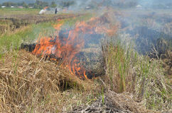 Burning rice straw. Royalty Free Stock Image