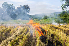 Burning of rice stubble burning straw in rice farmers in Thailan Stock Photos