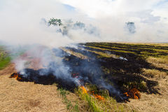 Burning rice stubble. Stubble and straw harvesting of paddy is about to be burned soon Stock Photography