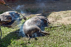 Burning skin slaughtered pig in funeral ceremony in Tana Toraja. Burning skin slaughtered pig in the funeral ceremony. In Toraja the funeral ritual is the most Royalty Free Stock Photography