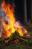 Burning spruce branches. Royalty Free Stock Image
