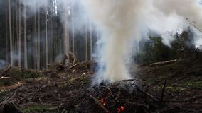 Burning spruce branches and rising smoke. stock video
