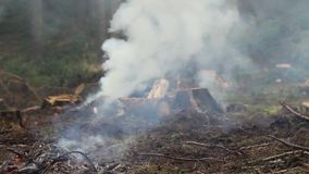 Burning spruce branches and rising smoke. stock footage