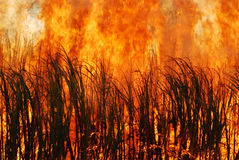 Burning Sugar cane Royalty Free Stock Photography