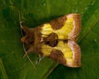 The Burnished Brass, Diachrysia chrysitis Stock Photo