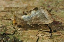 Burnished Brass Moth Royalty Free Stock Photo