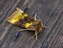 Burnished Brass moth Royalty Free Stock Image