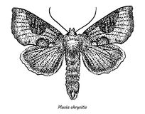 Burnished brass moth illustration, drawing, engraving, ink, line art, vector. Illustration, what made by ink and pencil, then it was digitalized Royalty Free Stock Images