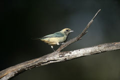 Burnished-buff tanager, Tanagara  cayana Royalty Free Stock Images