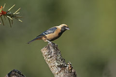 Burnished-buff tanager, Tangara cayana Royalty Free Stock Photo
