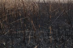After the burnt ashes of reeds. Texture Stock Image