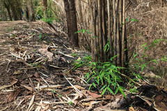 The burnt bamboo in the forest after wildfire Stock Photos