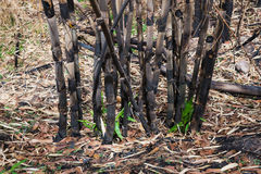 The burnt bamboo in the forest after wildfire Royalty Free Stock Images