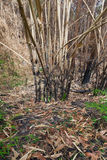 The burnt bamboo in the forest after wildfire Stock Photo