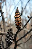Burnt Banksia konusuje laszowań ziarna po bushfire Zdjęcia Royalty Free