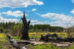 Free Burnt Black Crooked Big Old Oak Tree Leftover Hit By Lightning And Destroyed By Fire In Meadow Near Pine Forest. Power Of Elements Royalty Free Stock Photography - 153510987