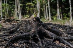 Burnt Black Eucalypt Gum Tree Stump.  Royalty Free Stock Image