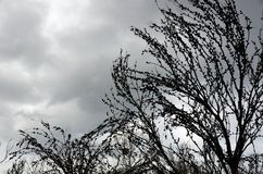Burnt Australian tree silhouetted against overcast ominous sky. Burnt and blackened Casuarina tree laden with nuts silhouetted against a dark grey overcast sky stock photography