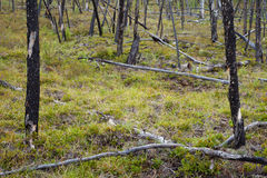 Burnt boreal forest Stock Photos