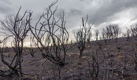 Devastated burnt forest. Burnt bush hill after devastating fire stock photography