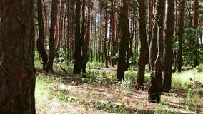 Burnt and charred tree trunks. A fire the forest damaged the pine trees. Burnt and charred tree trunks. A fire in the forest damaged the pine trees stock video footage