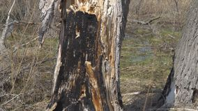 Burnt dry tree trunk. In the forest stock footage