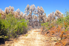 Burnt eucalyptus forest in Portugal Stock Photo
