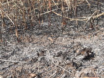 Burnt field. Devastated grassland from a careless fire that left ashes and stubble royalty free stock images