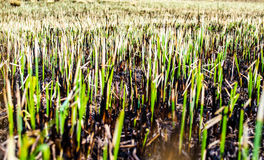 Burnt field with some remains of green grass. Nature background Royalty Free Stock Images
