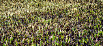 Burnt field with some remains of green grass. Nature background Stock Image