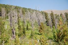 Burnt forest. Near karakol lakes Royalty Free Stock Image