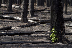 Burnt forest Stock Photos