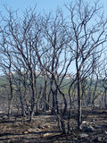 Burnt forest. Tree trunks destroyed by Greek forest fire stock photo
