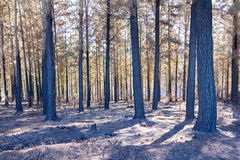 Burnt forest Royalty Free Stock Photos