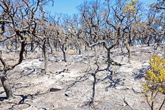 Burnt forest in the countryside from Portugal. Europe Royalty Free Stock Images