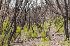 Burnt forest Stock Photography