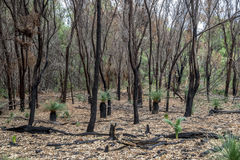 Burnt forest remains after bushfire in Yanchep National Park. City of Wanneroo, Perth, Western Australia Royalty Free Stock Image