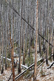 Burnt Forest in Winter Snow Royalty Free Stock Photo