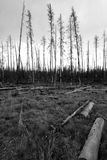 Evidence of 88` fires in Yellowstone National Park. Burnt forests of Yellowstone National Park. In 1988 one of the worst forest fires engulfed Yellowstone Stock Photo