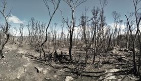 Remains of a Forrest fire in Tasmania Royalty Free Stock Image